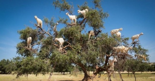 goatsintree